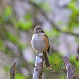 Grey-backed Shrike Royalty Free Stock Images