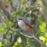 Grey-backed Shrike Stock Photos