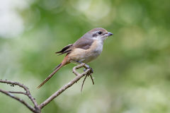 Grey backed Shrike. Royalty Free Stock Image
