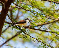 The Grey Backed shrike perched in a Shailendra Tree. Royalty Free Stock Photos