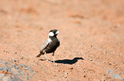 Grey-backed Sparrow-lark Royalty Free Stock Photo