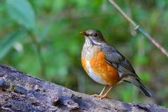 Grey-Backed Thrush bird Stock Photography