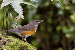 Grey-backed Thrush ,Turdus hortulorum Stock Images