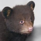 Grey Backgrd dell'orso nero del bambino Fotografia Stock