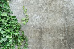 Grey background with ivy. Background with gray plastered wall and ivy leaves Stock Photos