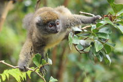 Grey bamboo lemur. On the tree stock images