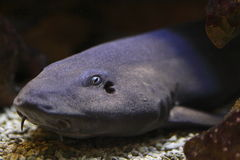 Grey bamboo shark. The grey bamboo shark, Chiloscyllium griseum, is a species of carpet shark in the family Hemiscylliidae, found in the Indo-West Pacific Oceans Stock Photos