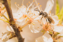 Grey Bee on Blossoms Royalty Free Stock Image