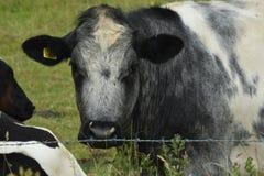 Grey Beef Cow azul abigarrado en bestia fina áspera del pasto A foto de archivo