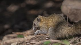 Grey-bellied Squirrel Feeding stock images