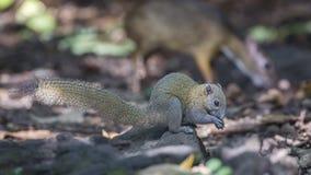 Grey-bellied Squirrel Feeding stock image