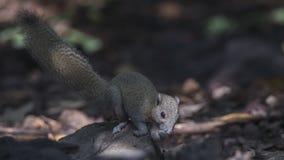 Grey-bellied Squirrel Feeding stock photography