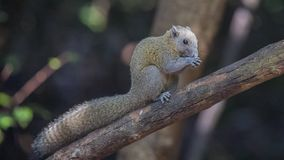 Grey-bellied Squirrel Feeding royalty free stock image