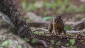 Grey-bellied Squirrel Wandering stock photography