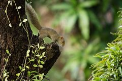 Grey-bellied squirrel royalty free stock images