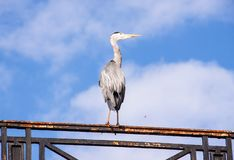 A grey big bird on the balustrade royalty free stock images