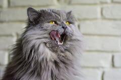 Grey big cat. Grey cat licking her face Royalty Free Stock Photo