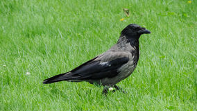 Grey big raven on a green meadow Royalty Free Stock Image