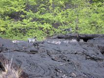 Grey Billy Goats Walking Over the Pahoehoe Lava Rocks Stock Photos