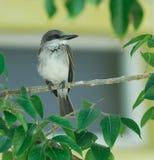 Grey Bird. Grey small bird near the nest. Caribbean Islands. Cuba Stock Image