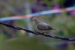 Grey bird - Columbina on a wire Royalty Free Stock Image