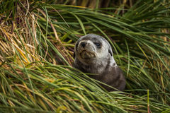 Grey and black Antarctic fur seal pup Stock Images