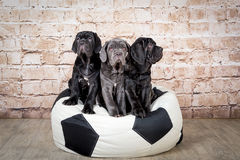 Grey, black and brown puppies breed Neapolitana Mastino. Dog handlers training dogs since childhood. royalty free stock images