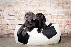 Grey, black and brown puppies breed Neapolitana Mastino. Dog handlers training dogs since childhood. Grey, black and brown puppies breed Neapolitana Mastino Royalty Free Stock Photography
