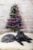 Grey, black and brown puppies breed Neapolitana Mastino. Dog handlers training dogs since childhood. Dogs have a Christmas tree. Stock Images