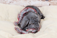 Grey, black and brown puppies breed Neapolitana Mastino. Dog handlers training dogs since childhood. Dogs have a Christmas tree. Royalty Free Stock Photos