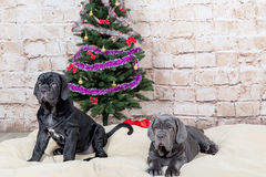 Grey, black and brown puppies breed Neapolitana Mastino. Dog handlers training dogs since childhood. Dogs have a Christmas tree. Stock Photos