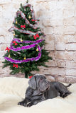 Grey, black and brown puppies breed Neapolitana Mastino. Dog handlers training dogs since childhood. Dogs have a Christmas tree. Royalty Free Stock Photography