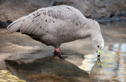 Grey and Black Cape Barren Goose Drinking from Pond. Grey and black Cape Barren Goose (Cereopsis novaehollandiae) with white head drinking water from a pond Royalty Free Stock Photo