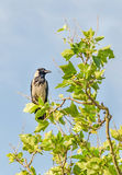 Grey and black crow sitting on a branch tree, blue sky. Royalty Free Stock Image