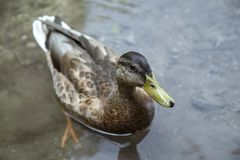 Grey Black Duck on Water Stock Image