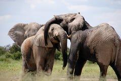 Grey Black Elephant on Green Grass Field Royalty Free Stock Image