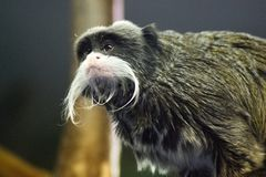 The grey, black fuzzy, furry monkey Royalty Free Stock Images