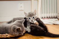 Kitten playing with each other. Grey and black kittens having a good time playing Royalty Free Stock Image