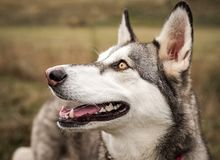 Grey, black, and white Husky dog with beautiful bright eyes photographed outdoors. A beautiful, sweet dog that I photographed for a local nonprofit animal royalty free stock photography