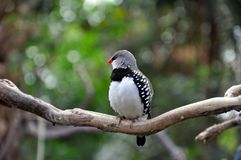Black and white spotted finch stock photo