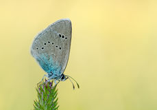 Grey blue butterfly on a stalk of grass. Royalty Free Stock Photos