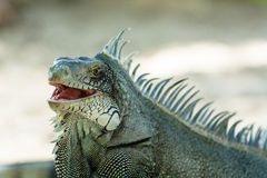Grey blue iguana. Endemic grey blue iguana with typical spines, Guadeloupe Royalty Free Stock Photos