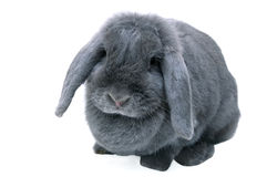Grey (blue) lop rabbit Stock Images