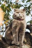 Grey-blue Scottish Fold cat on a tree. royalty free stock image