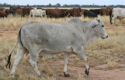 Grey Brahman Bullock. In a herd of cattle on a stock route, NSW, Australia Royalty Free Stock Photography