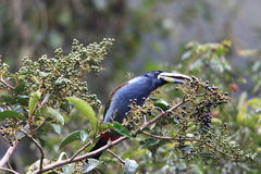 Grey-breasted Mountain Toucan Royalty Free Stock Photo