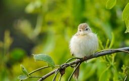 Small bird - Prinia  Royalty Free Stock Images