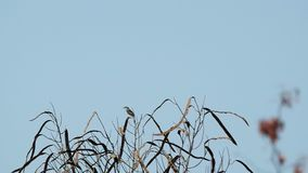 Grey-breasted Prinia on the top of tree stock footage