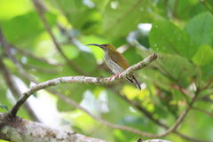 Grey-breasted Spiderhunter. Arachnothera modesta in South Thailand Stock Images