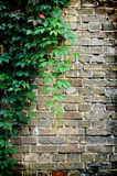 Grey brick wall covered in green ivy Stock Image